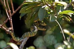 Wagler pitviper in the Snake temple, Penang, Malaysia Stock Photos