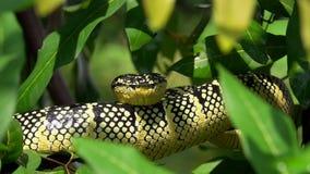 Wagler ` s寺庙坑蛇蝎睡觉在树枝的Tropidolaemus wagleri 股票录像
