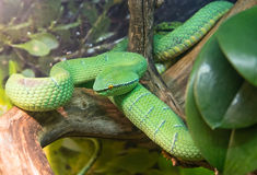 Wagler's palm viper Stock Image