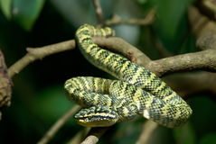 Wagler's Pit Viper Royalty Free Stock Images