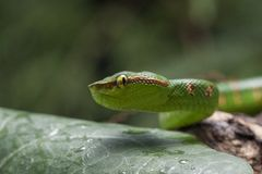 Wagler`s Pit Viper Snake - Tropidolaemus wagleri. Wagler`s Pit Viper Snake - Tropidolaemus wagler is Tropical asian pit viper royalty free stock photography