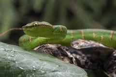 Wagler`s Pit Viper Snake - Tropidolaemus wagleri. Wagler`s Pit Viper Snake - Tropidolaemus wagler is Tropical asian pit viper stock photos