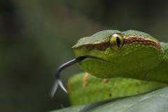 Wagler`s Pit Viper Snake - Tropidolaemus wagleri stuck out his tongue. Wagler`s Pit Viper Snake - Tropidolaemus wagler is Tropical asian pit viper stock photos