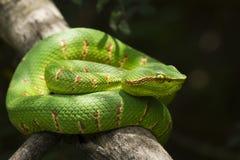 Wagler`s Pit Viper Snake - Tropidolaemus wagleri on tree branch. Wagler`s Pit Viper Snake - Tropidolaemus wagler is Tropical asian pit viper on tree branch stock photos