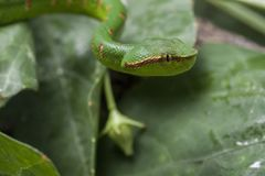Wagler`s Pit Viper Snake - Tropidolaemus wagleri. Wagler`s Pit Viper Snake - Tropidolaemus wagler is Tropical asian pit viper royalty free stock images
