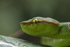 Wagler`s Pit Viper Snake - Tropidolaemus wagleri. Wagler`s Pit Viper Snake - Tropidolaemus wagler is Tropical asian pit viper royalty free stock photo