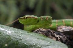 Wagler`s Pit Viper Snake - Tropidolaemus wagleri. Wagler`s Pit Viper Snake - Tropidolaemus wagler is Tropical asian pit viper stock image