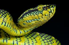 Wagler's pit viper / Tropidolaemus wagleri Royalty Free Stock Photo