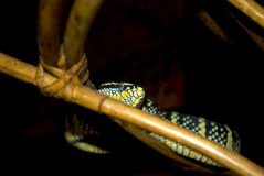 Wagler's pitviper in the Snake temple, Penang, Malaysia Stock Photos