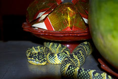 Wagler's pitviper in the Snake temple, Penang, Malaysia Royalty Free Stock Photo