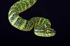 Wagler's tree viper (Tropidolaemus wagleri) female Stock Photos