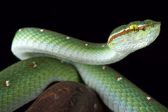 Wagler's tree viper (Tropidolaemus wagleri) male Royalty Free Stock Photo