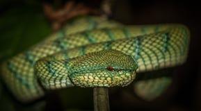 Waglers Pit Viper i den Bako nationalparken Borneo, Malaysia Fotografering för Bildbyråer