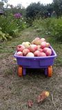 A wagon with apples on the path of a summer garden surrounded by flowers. royalty free stock images