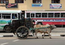 The wagon with the Buffalo on the street of Galle. Royalty Free Stock Photography