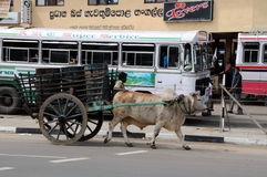 The wagon with the Buffalo on the street of Galle. Stock Photography