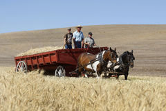 Wagon filled with wheat. Royalty Free Stock Image