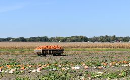 Harvesting pumpkins on a sunny fall day. Wagon full of orange pumpkins in a farm field on a sunny fall day royalty free stock images