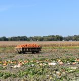 Harvesting pumpkins on a sunny fall day. Wagon full of orange pumpkins in a farm field on a sunny fall day royalty free stock photography