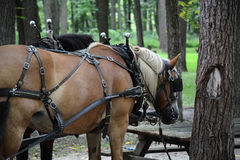 Wagon horse. A light colored horse hitched to a wagon as part of a team pulling tour wagons on blennerhassett island Royalty Free Stock Images