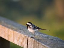 Wagtail ή πουλί Motacilla σε έναν φράκτη στοκ εικόνες