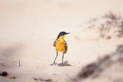 wagtail κίτρινος Στοκ Φωτογραφίες