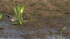 Wagtail στο φυσικό περιβάλλον Άσπρο wagtail κοντινό νερό flava motacilla wagtail motacilla alba και κίτρινο ΥΠΕΡΒΟΛΙΚΟ HD 4K, απόθεμα βίντεο