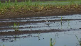 Wagtail στο φυσικό περιβάλλον Άσπρο wagtail κοντινό νερό flava motacilla wagtail motacilla alba και κίτρινο ΥΠΕΡΒΟΛΙΚΟ HD 4K, φιλμ μικρού μήκους