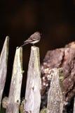 wagtail загородки Стоковое Фото