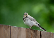 Wagtail. White wagtail (motacilla alba) on wooden fence top Stock Image