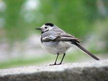 Wagtail Royalty Free Stock Photography