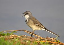 Wagtail Royalty Free Stock Image
