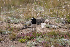 Wagtail Royalty Free Stock Photo