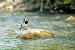 Wagtail Royalty Free Stock Photos