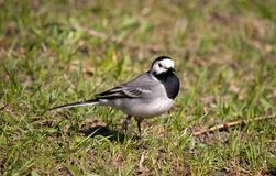 Wagtail Imagens de Stock