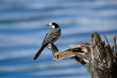 wagtail Stockfotos