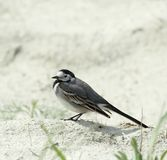 Wagtail. Royalty Free Stock Images