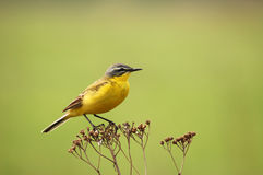 Wagtail. Yellow Wagtail on a beautiful yellow background royalty free stock images