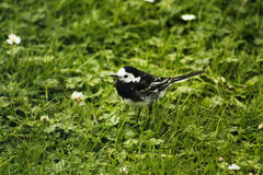 wagtail Stock Fotografie