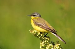 Wagtail. Yellow Wagtail royalty free stock photo