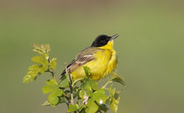 Wagtail amarelo masculino Foto de Stock Royalty Free