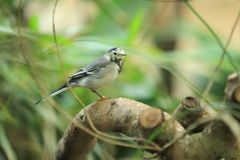 Wagtail bianco Immagine Stock