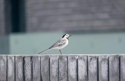Wagtail bianco Immagini Stock Libere da Diritti