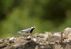 Wagtail bird Stock Photos