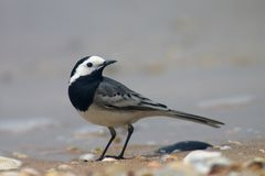 Wagtail bird Royalty Free Stock Photos