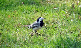 Wagtail bird Stock Images