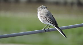 Wagtail bird Royalty Free Stock Photo