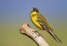 Wagtail bird calling Royalty Free Stock Photos
