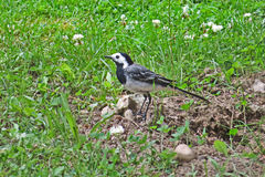 Wagtail bird on a green grass background. Wagtail bird in profile on a green grass background Stock Photography