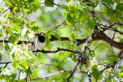 Wagtail bird with insects in beak. Wagtail bird in tree with insects in beak stock photography